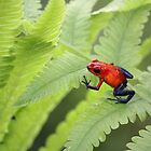 Strawberry Poison Frog by blendenwahl