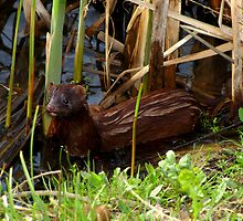 Mink in the Marsh (American Mink) by Robert Miesner