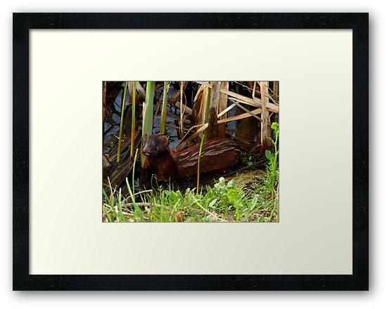 Mink in the Marsh (American Mink) by Robert Miesner