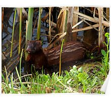 Mink in the Marsh (American Mink) Poster