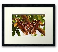 Female atlas moth Framed Print