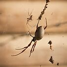 Golden Orb Weaver by Timo Balk