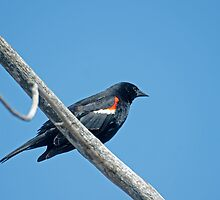 Redwing Blackbird by Mike Oxley