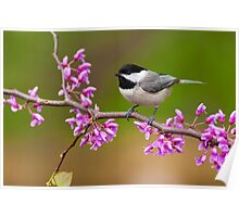 Black-capped Chickadee on Redbud Poster