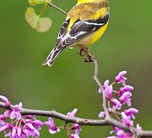 American Goldfinch on Redbud by Michael Mill