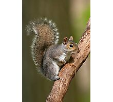 Eastern Gray Squirrel Photographic Print