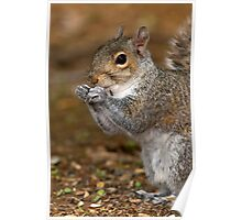 Gray Squirrel Portrait Poster