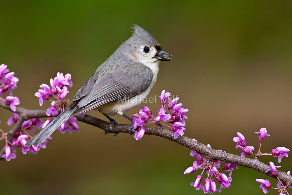 Tufted Titmouse on Redbud by Michael Mill