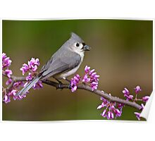 Tufted Titmouse on Redbud Poster