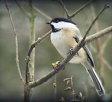 Black-capped Chickadee (Parus atricapillus) by Gail Jones