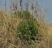85th Dune Shrubs by Lesley Rosenberg