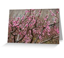Peach blossoms in bloom in Palisade Greeting Card