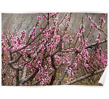 Peach blossoms in bloom in Palisade Poster