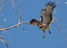 Red-tailed Hawk ~ Tactical Measures by Kimberly Chadwick