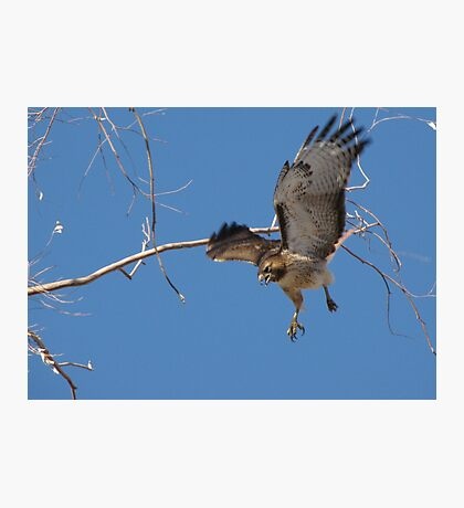 Red-tailed Hawk ~ Tactical Measures Photographic Print