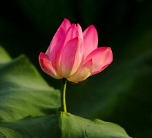 giant water lily by Les Pink