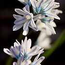 Striped Squill - Puschkinia libanotica by Megan Noble