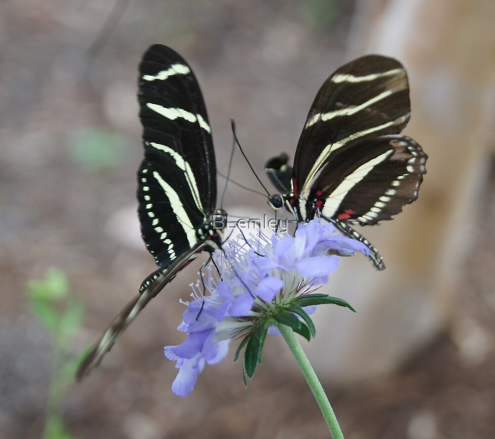 Zebra Longwing Butterflies... by BLemley