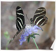 Zebra Longwing Butterflies... Poster