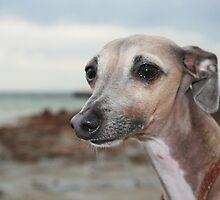 Italian Greyhound by RainbowsEnd