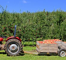 Apple Harvest by thewhitecottage