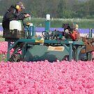 The end of tulip season is near by angeljootje