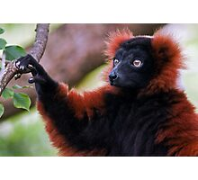 Red Ruffed Lemur Photographic Print