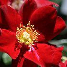 velvert red by Karen E Camilleri