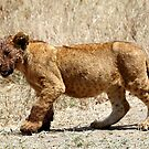 African Lion Cub After Feeding, Serengeti, Tanzania  by Carole-Anne