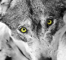 eyes of a wolf by neil harrison