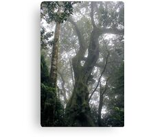 2000 Years - Springbrook Mountain, Gold Coast Hinterland Canvas Print