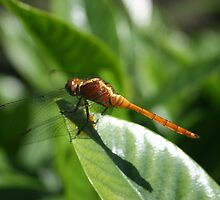 Dragonfly on Gardenia by swiffer