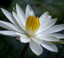 White Radial Bloom by Kerryn Madsen-Pietsch