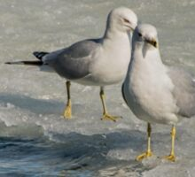 Pair of Gulls on Ice at Harbourfront, Toronto, Ontario Sticker