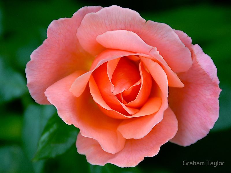 Pink Rose by Graham Taylor