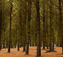 Pines by fotoWerner