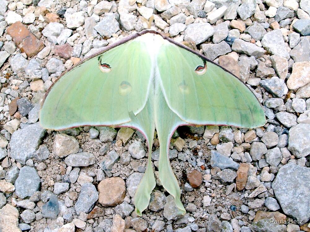 Big Beautiful Green Luna Moth by Paula Betz