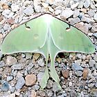 Big Beautiful Green Luna Moth by Paula Betz