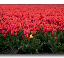 ..if Women are like Tulips.. by John44