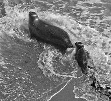 Harbor seal and pup- Point Lobos, California by David Chesluk