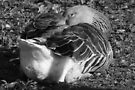 Sleepy Graylag Goose (Black and White) by Artberry