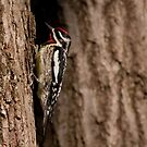 Yellow Bellied Sapsucker - Male #1 by Benjamin Brauer