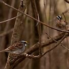 White Throated Sparrow by Benjamin Brauer