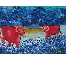 Pink Cows  Photographic Print