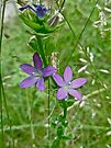 Clasping Venus's Looking Glass - Triodanis perfoliata by MotherNature