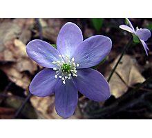 Hepatica (Hepatica nobilis) - Ranunculaceae (Buttercup) Photographic Print