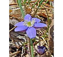 Hepatica Wildflower - Hepatica nobilis Photographic Print
