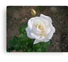 Cute white rose Canvas Print