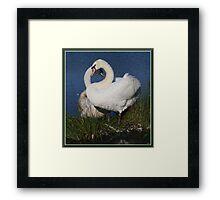 Swan love. Framed Print