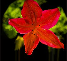 Azalea Single Flower by J-images